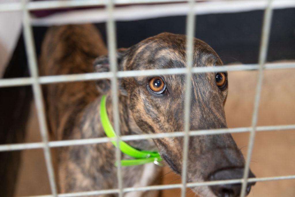 Greyhound at Kevin Hutton Racing