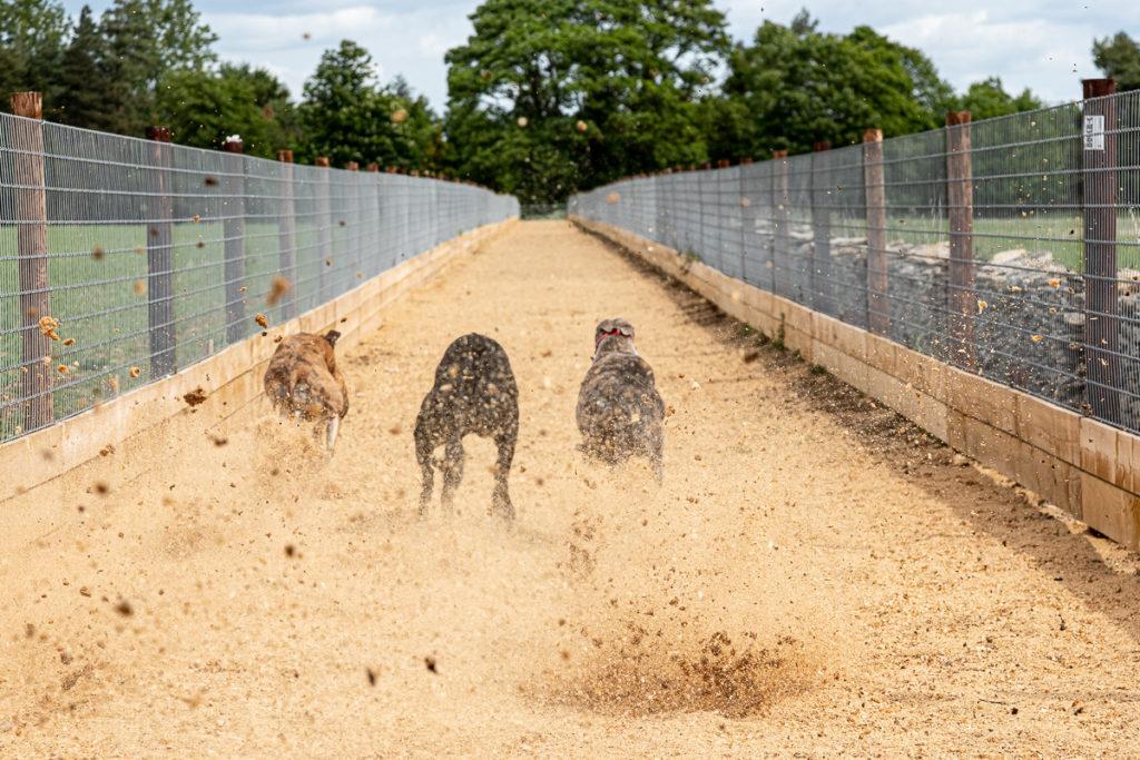 Greyhounds at purpose built run at Kevin Hutton Racing