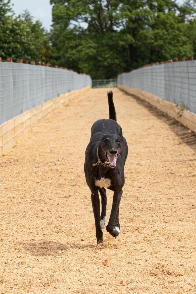 Greyhound on run at Kevin Hutton Racing